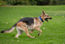 Sable German Shepherd  Running on Grass in Profile