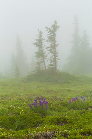 Subalpine Meadow in Fog on Mount Townsend in Olympic National Forest