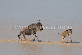 wildebeest_lake_crossing_sequence_02242015-111