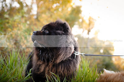 portrait of black chow dog looking away in natural setting