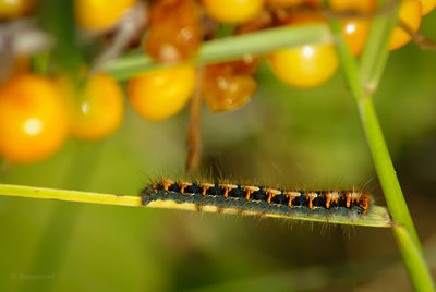 Caterpilar of Oak eggar near orange berries