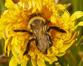 Andrena vaga, female on Taraxacum officinale