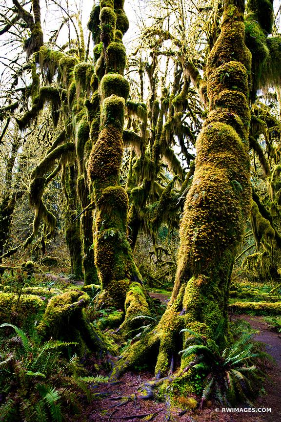 HALL OF MOSSES TRAIL HOH RAINFOREST OLYMPIC NATIONAL PARK