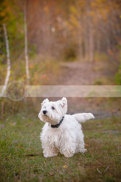 small white groomed terrier dog standing in trail