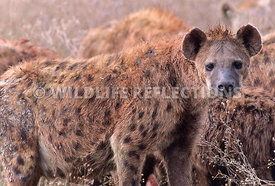 spotted_hyena_standing_profile