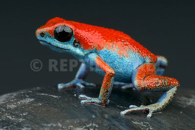"Strawberry dart frog / Oophaga pumilio ""Isla Escudo"" photos"