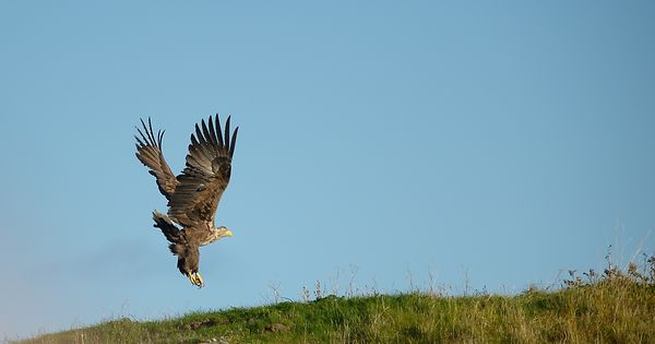Havørn / White tailed sea eagle,  Haliaeetus albicilla