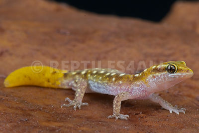 Morocco lizard-fingered gecko  (Saurodactylus brosseti) photos