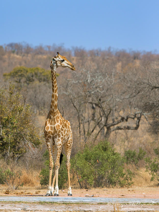 Giraffe at a pan in South Africa