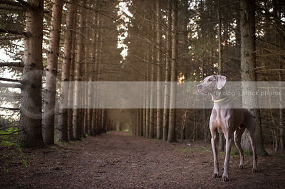 alert grey weimaraner dog standing at attention in pine trees