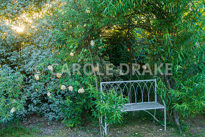 White bench surrounded by willow and Rosa 'Climbing Lady Hillingdon'. Caervallack Farm, St Martin, Helston, Cornwall, UK