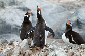 Three gentoo penguins making noise together at the Antarctic Peninsula.
