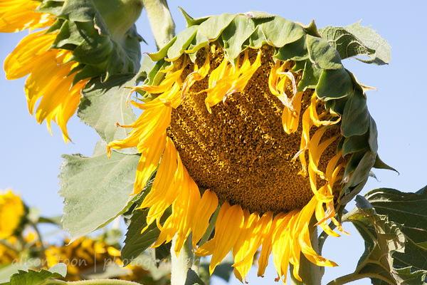 Sunflowers photos