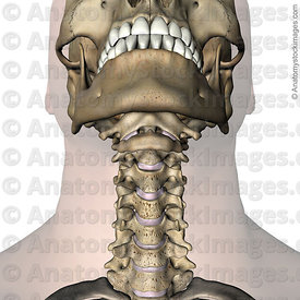 neck-uncovertebral-joint-luschkas-joints-intervertebral-disc-discus-intervertebralis-chin-front-skin