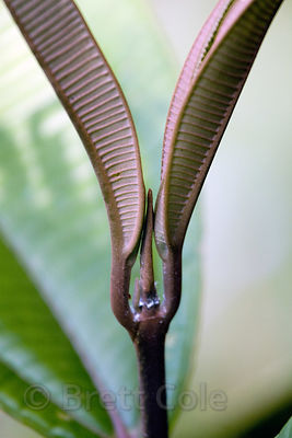 Elegant form in the new growth of a plant in older secondary forest along the Rio Penas Blancas, Las Nubes, Costa Rica