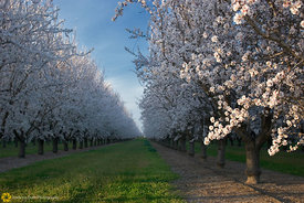 Almond Orchard in Bloom #2