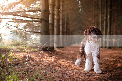 brown and white portuguese water dog standing in pine forest