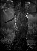 Cheetah cub waiting its mother in a tree © Laurent Baheux