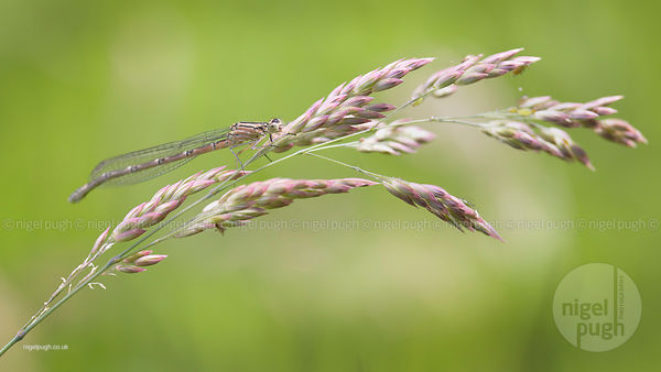 immature female Common Blue Damselfly