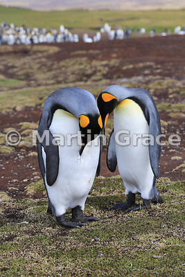 Pair of King Penguins (Aptenodytes patagonicus), one preening; Volunteer Point, East Falkland, Falkland Islands