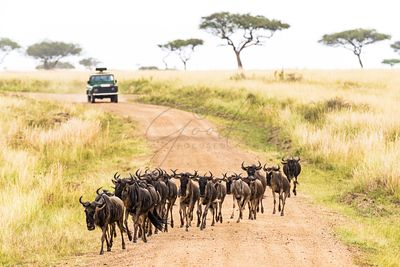 African Safari With Wildebeest Crossing Road