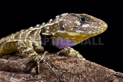 Peruvian purple throated lizard (Stenocercus imitator)  photos
