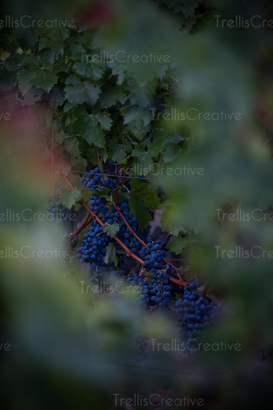 Bunches of ripe red grapes hanging on grapevine