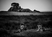 5462-Lion-The_Royal_couple_Tanzania_2015_Laurent_Baheux