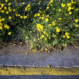 A garden of daisies growing beside a road