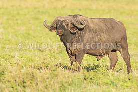 Buffalo_Watching_Horizontal_1