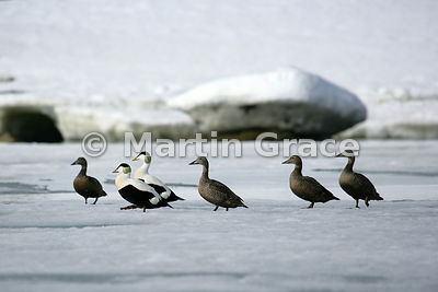 Two male and four female Eider Ducks (Somateria mollissima) on ice, Holmiabukta, Spitsbergen, Svalbard