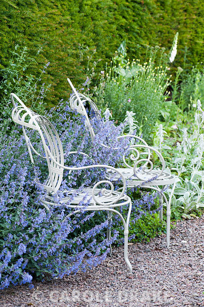 A pair of white metal chairs surrounded by catmint and silvery stachys. Mindrum, nr Cornhill on Tweed, Northumberland, UK