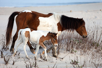 One month old baby wild horse (Equus ferus caballus) and its mother on sand dunes along the Atlantic Ocean, Assateague Island, Maryland