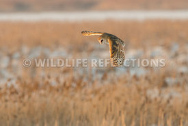 barn_owl_winter_flight-8