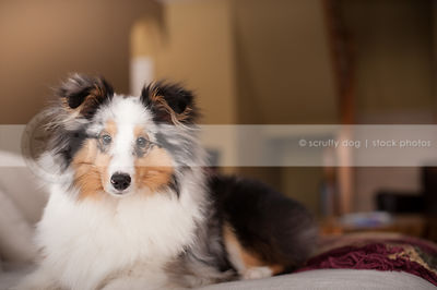 portrait of beautiful merle sheltie dog lying on couch at home indoors