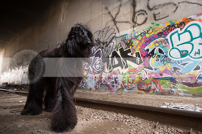 beautiful windblown afghan dog at tracks in urban graffiti tunnel
