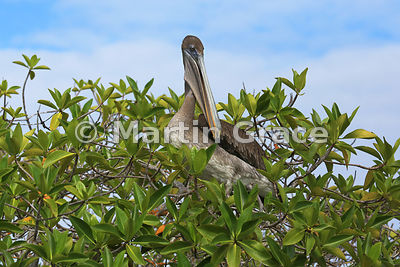 Brown Pelican (Pelecanus occidentalis urinator) perching in a Red Mangrove (Rhizophora mangle), Bahia Ballena, Santa Cruz, Galapagos