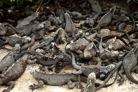 A large grouping of marine iguanas in the Galapagos.