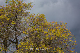 Emerging Oak Leaves against a Stormy Spring Sky in Seattle