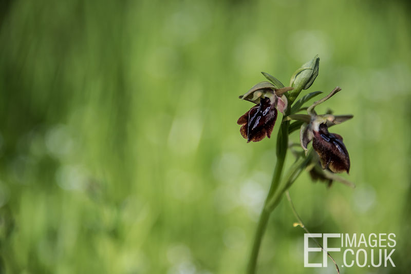 Bee Orchid In Iraq - Ophrys bombyliflora