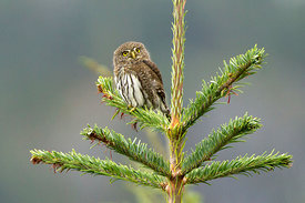 September - Northern Pygmy-Owl