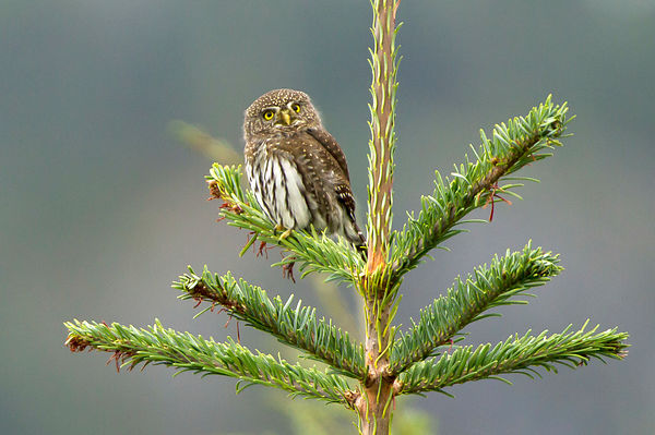 Northern Pygmy Owls photos