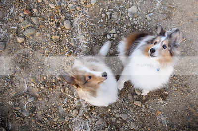 two shelties photographed from overhead
