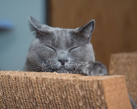 Grey Chartreux cat sleeping