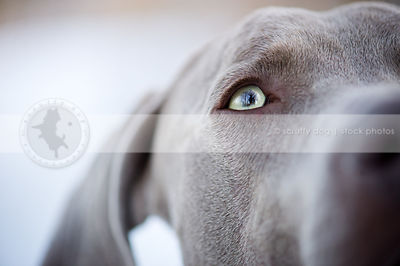 closeup of eye of grey weimaraner dog with minimal background