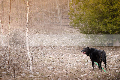 senior black retriever standing in field