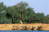 African elephants (Loxodonta africana) at the Zambezi river, Lower Zambezi National Park, Zambia