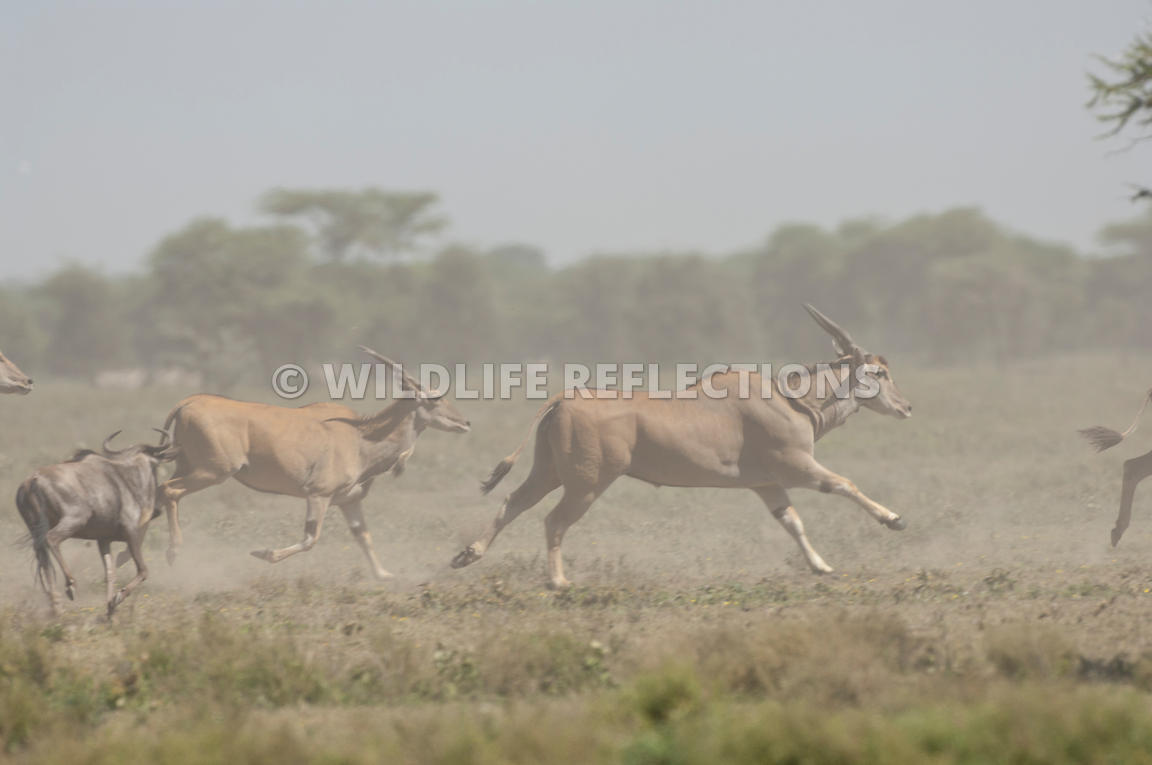 Eland and Wildebeest Stampede 10