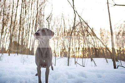grey weimaraner dog standing in snow with trees and sunflare