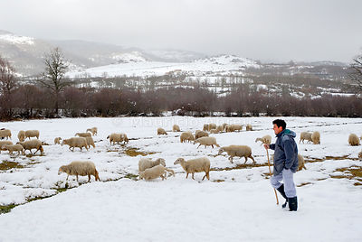A shepherd looking for graze through the snow. Montalegre region, Trás-os-Montes, Portugal